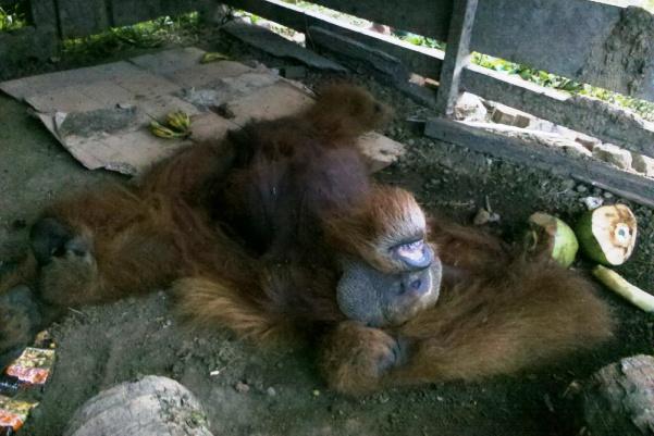 Kondisi orangutan yang dikurung dalam  kandang sapi | Foto: Ratno Sugito