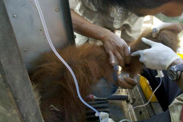 Pemberian cairan infus untuk orangutan | Foto: Ratno Sugito