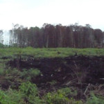 Hutan gambut di Rawa Tripa yang semakin menyusut | Foto: M. Nizar Abdurrani