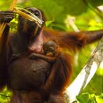 Bayi orangutan di Taman Nasional Kutai, sehat bersama induknya di habitat aslinya | Foto: Purwo Kuncoro