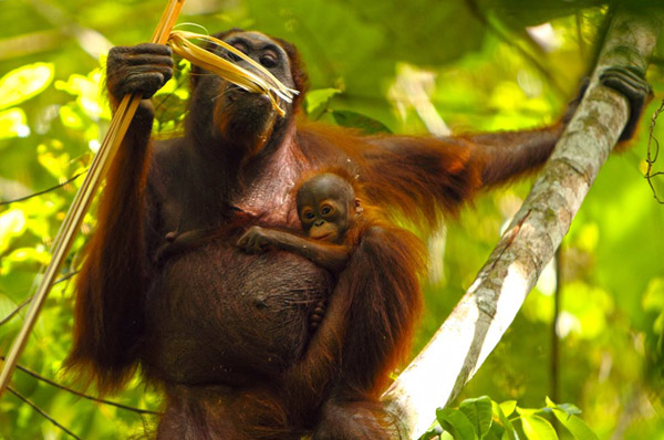 Foto: Bayi Orangutan Taman Nasional Kutai