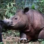 Badak Sumatera   Foto: vivanews