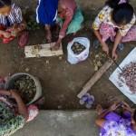 Kaum perempuan, warga desa Lubuk Beringin, propinsi Jambi memotong-motong buah kacang, hasil pertanian utama desa mereka   Foto: Tri Nugroho/CIFOR