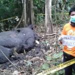 Seorang aktivis lingkungan sedang menginvestigasi kematian gajah di Kaway XVI | Foto: COP