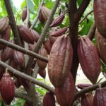 Ilustrasi kakao | Foto: int