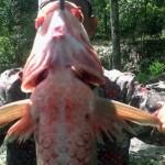 Kondisi ikan yang mati akibat dugaan keracunan. Dagingnya lembek, mata bengkak, dan insang pecah   Foto: Sulaiman