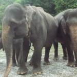 Dua ekor gajah betina di Conservation Response Unit Tangkahan, Langkat Sumatera Utara, Minggu (16/11/2014)
